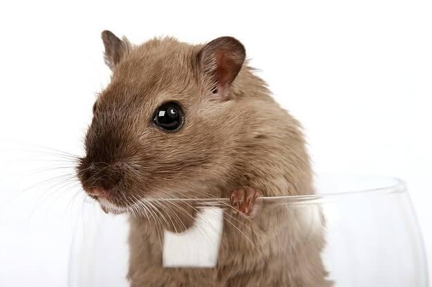 Mice and Rats Extermination Des Plaines IL