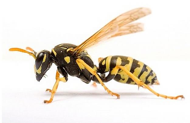 Wasp Extermination Des Plaines IL